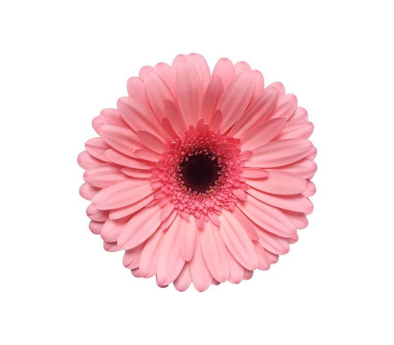 15 Gerbera Scala (Rosa)