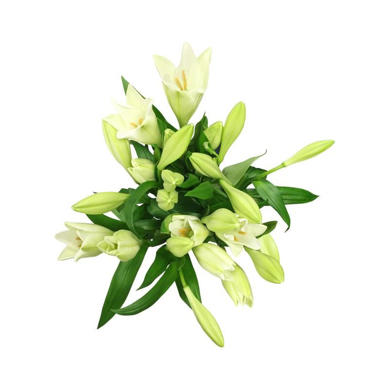 10 Lilien Weiß verzweigt