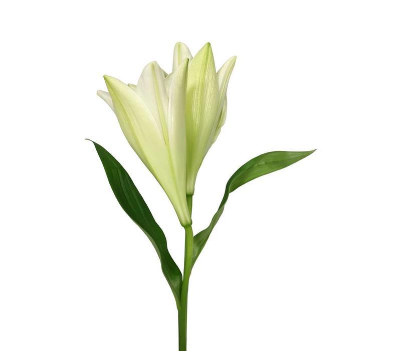 10 Lilien Watch up (Weiß verzweigt)