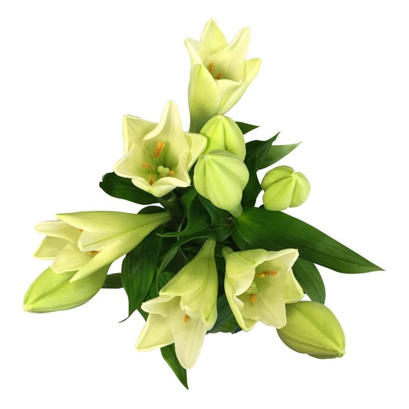 10 Lilien Weiß
