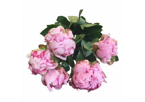 5 Pfingstrosen Rosa