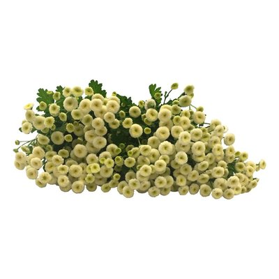 10 Matricaria Weiß