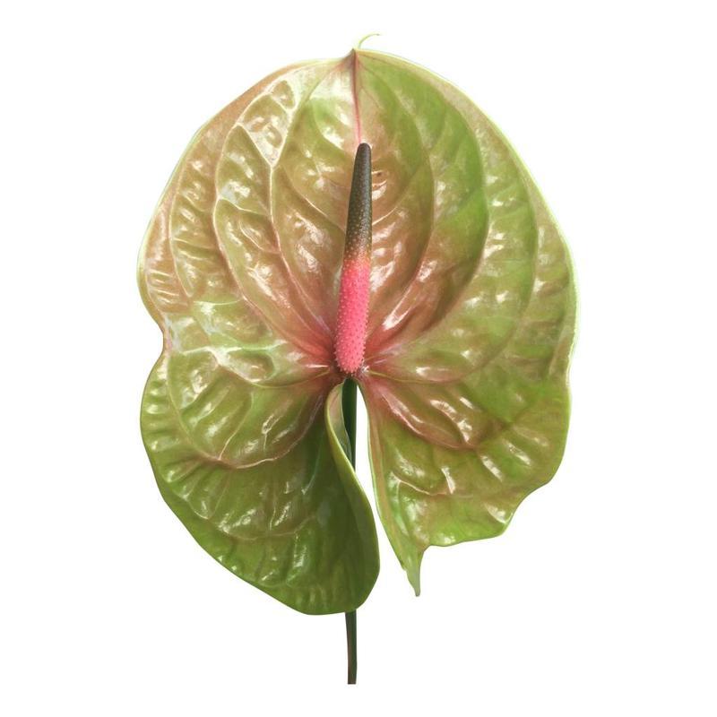 10 Anthurie Pistache (Grün-Rot)
