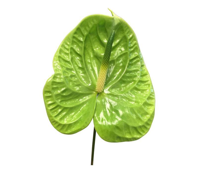 10 Anthurie  Midori (Grün)