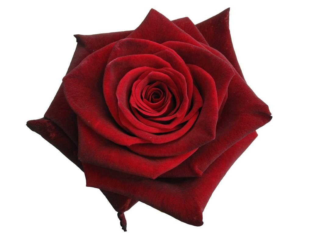 rosen bestellen rosen online bestellen bezahlbare. Black Bedroom Furniture Sets. Home Design Ideas
