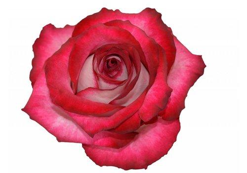 10 Rosen Bicolor Cinderella