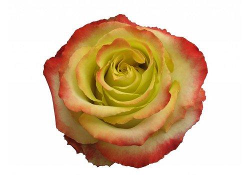 10 Rosen Gelb/Rot Zazu