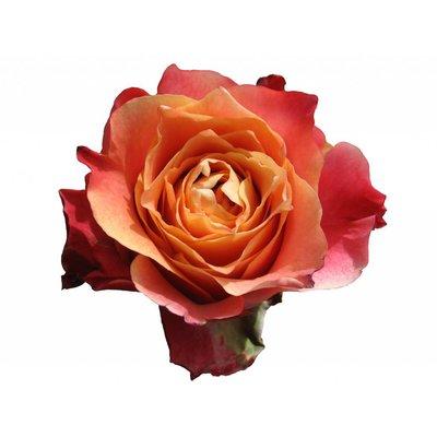 10 Rosen Orange 3D