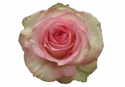 10 Rosen Creme Rosa Esperance