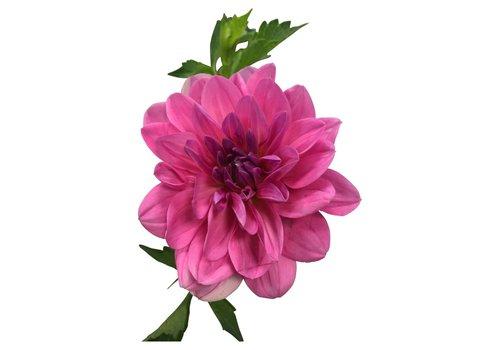 10 Dahlien Rosa Onesta
