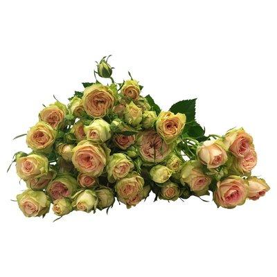 10 Tros-Rosen Creme / Rose Pretty Pepita
