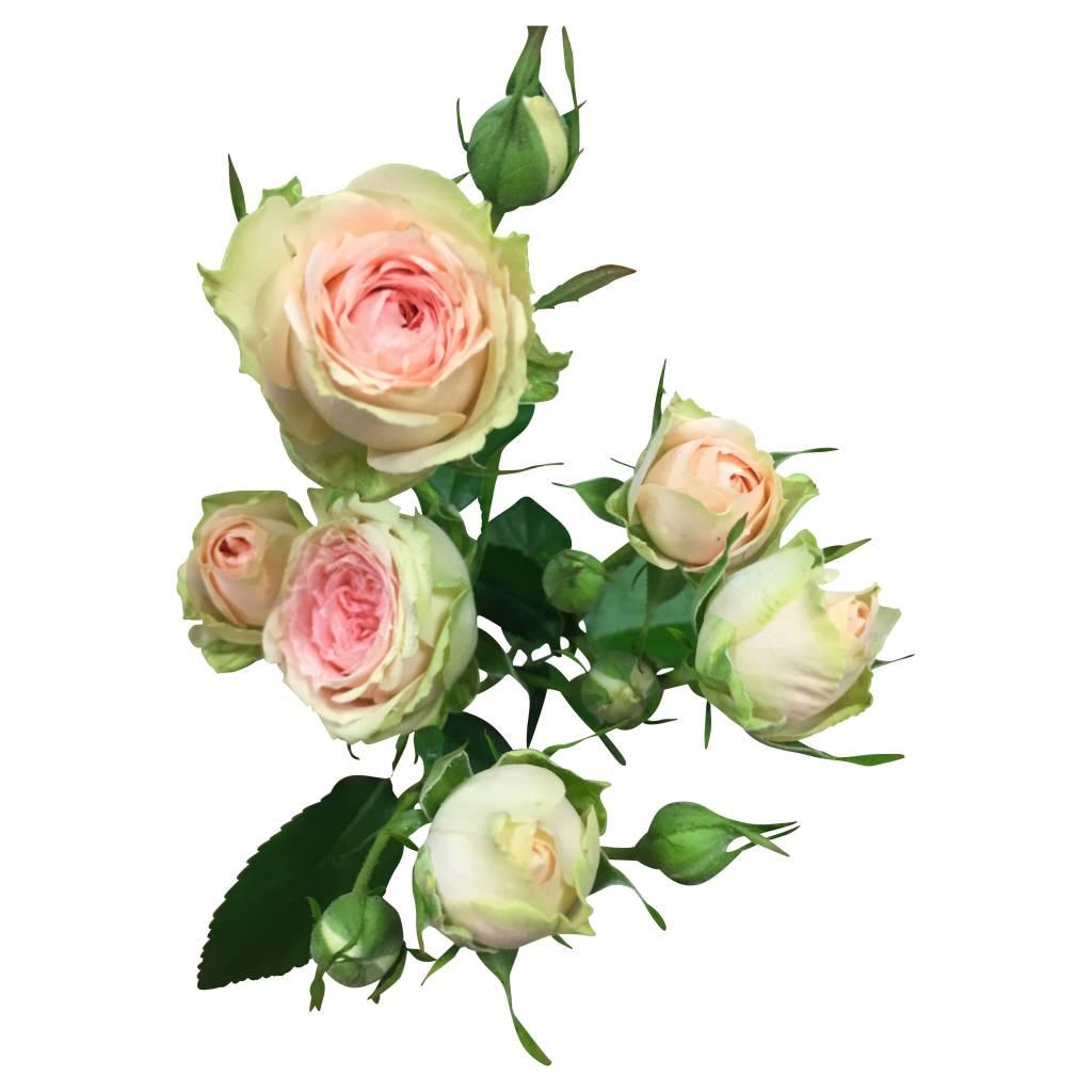 10 rosa creme tross rosen im schnitt online kaufen. Black Bedroom Furniture Sets. Home Design Ideas