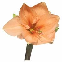 Amaryllis Apricot