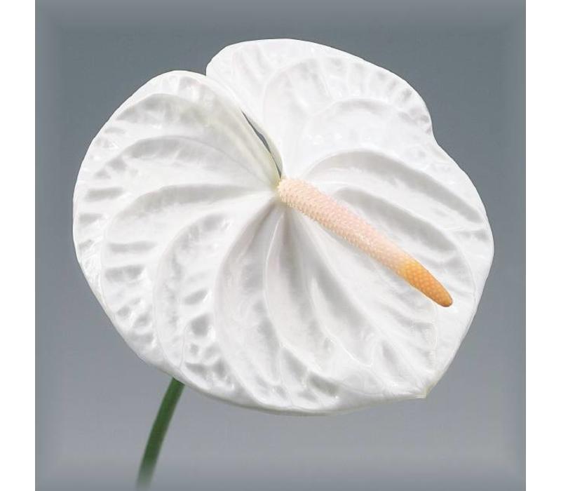 10 Anthurie Acropolis (Weiß)