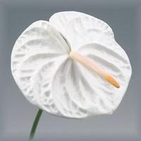 16 Anthurie Acropolis (Weiß)