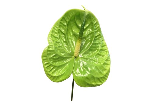 16 Anthurie Midori (Grün)
