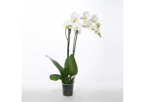 Zimmerpflanzen - Bezahlbare-Blumen.de