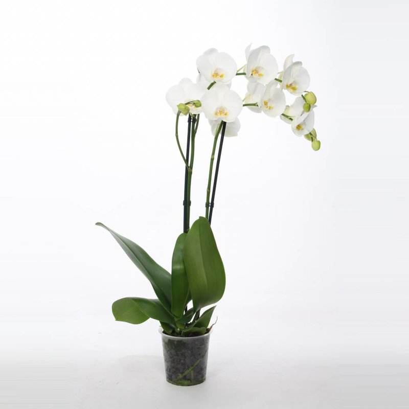 Phalaenopsis, 2-Trieber Weiß