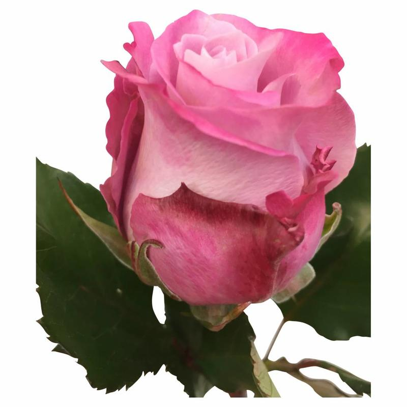 10 rosen im bund online kaufen bezahlbare bezahlbare. Black Bedroom Furniture Sets. Home Design Ideas