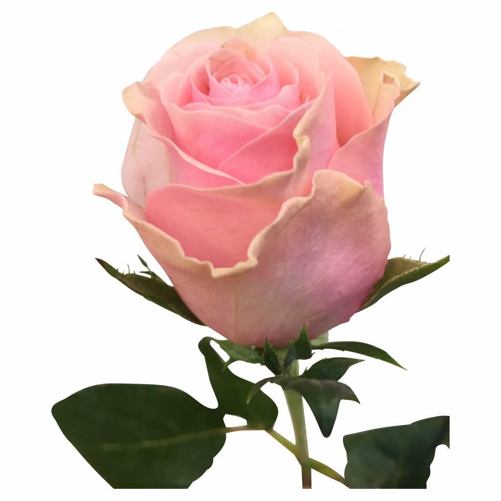10 rosen im bund online kaufen bezahlbare. Black Bedroom Furniture Sets. Home Design Ideas
