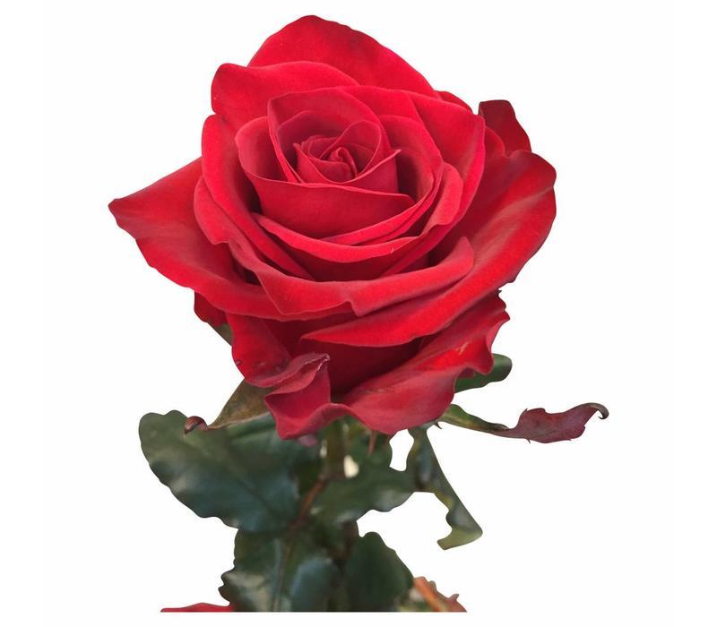 10 Premium-Rosen Red Eagle (Rot)