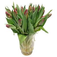 10 Tulpen Rococo (Papageien-Tulpe)