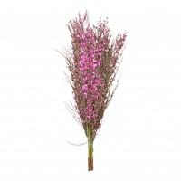 1 Bund Ginster Pink 400 Gramm