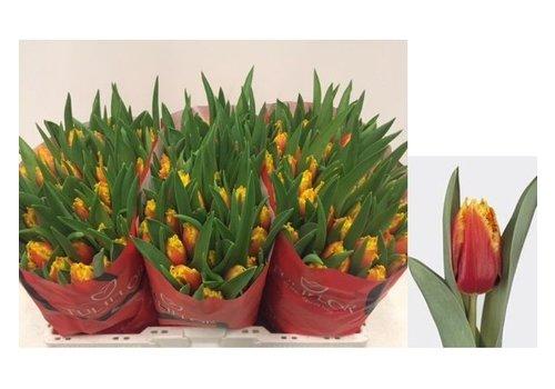 10 Tulpen Davenport