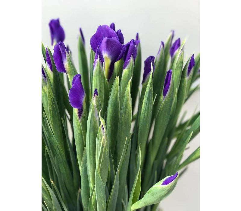 10 Iris Blue Magic