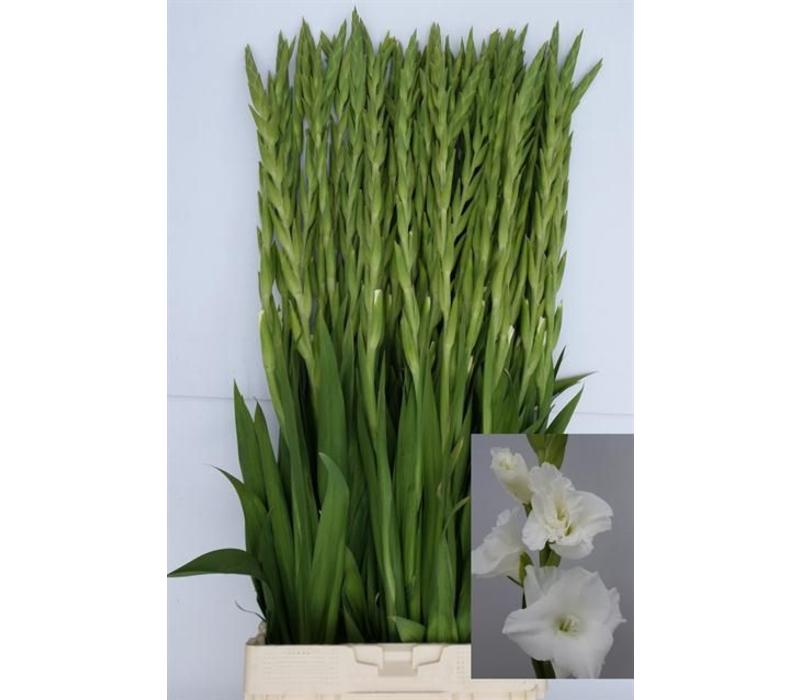 10 Gladiolen Essential