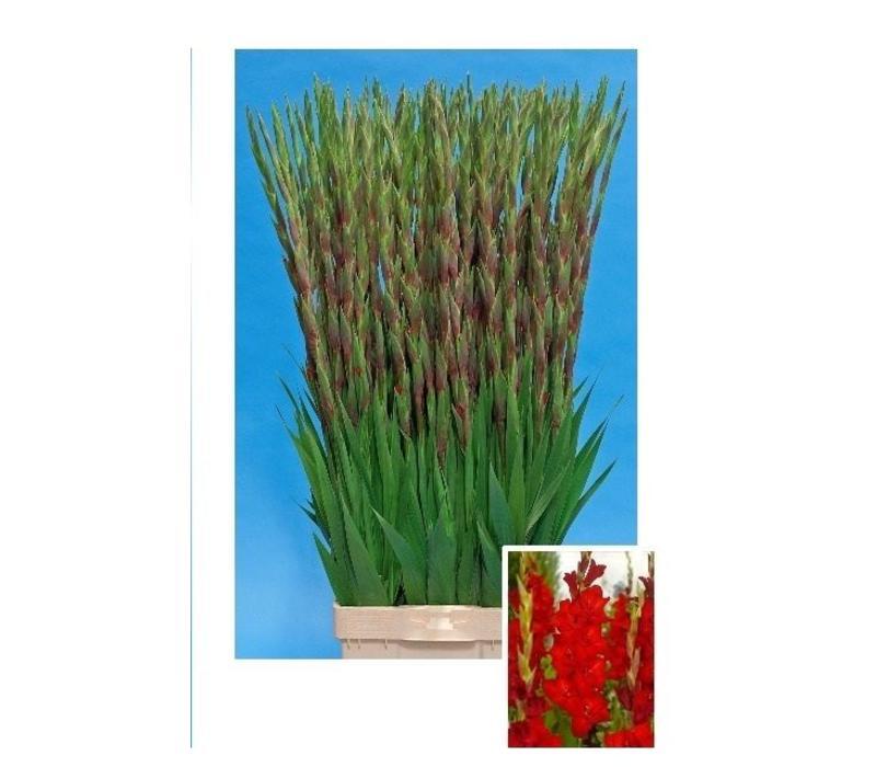 10 Gladiolen Red Balance