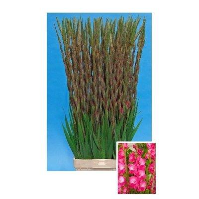 10 Gladiolen  Fairyta Pink