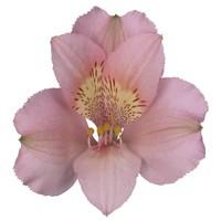 10 Alstromerien Primadonna (Rosa)