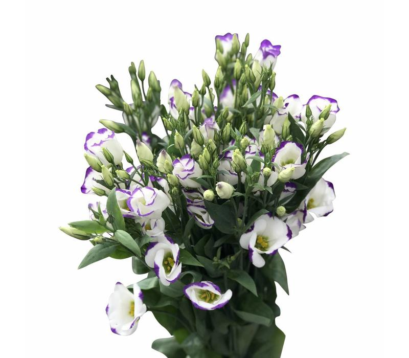 10 Eustoma Piccolo Blue (Blau-Weiß)