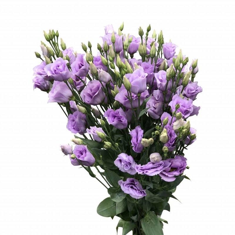 10 Eustoma Croma Lavender (Flieder)