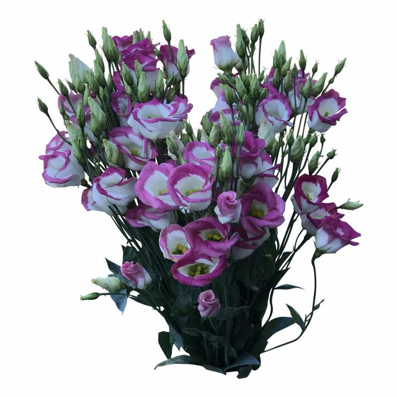10 Eustoma Piccolo Hot Lips (Weiß-Pink)