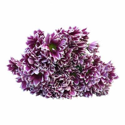 5 Chrysanthemen Firmenich (Pink-Weiß)