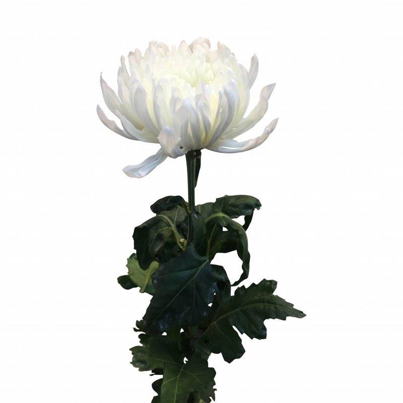 10 Deko Chrysanthemen   Antonov (Weiß)