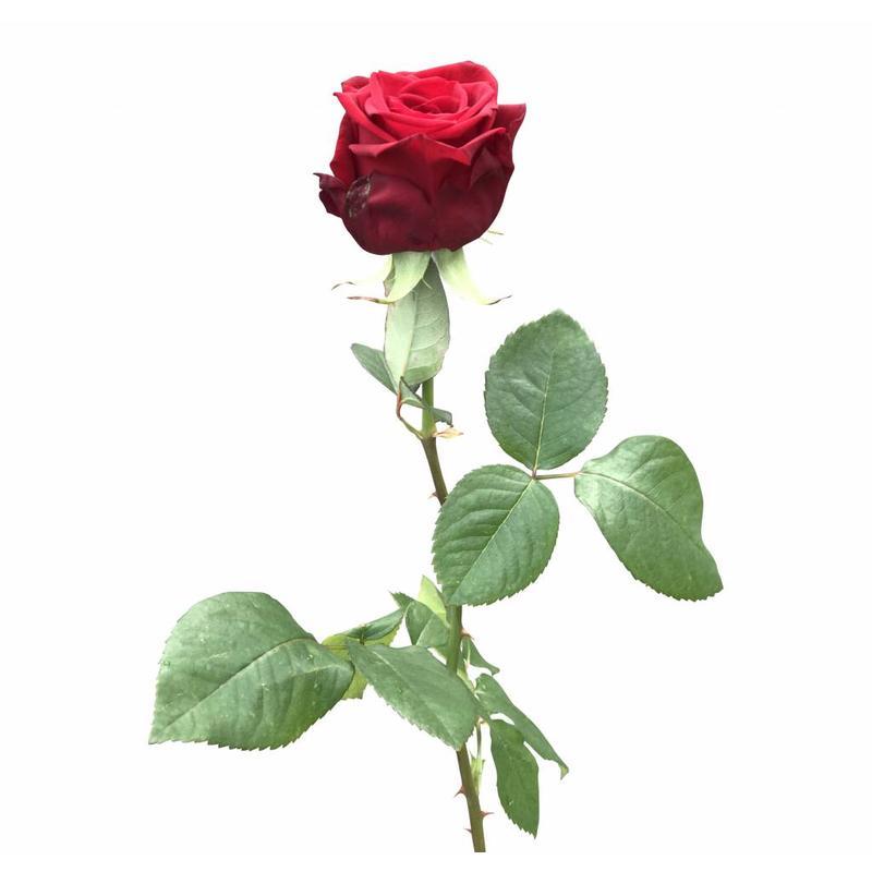 10 Premium-Rosen  Red Naomi (Rot)