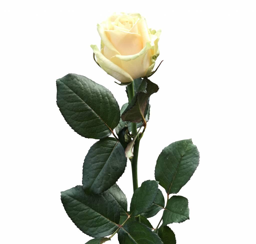 Rosen Peach Avalanche Online Bestellen Bezahlbare Blumen De