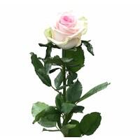 10 Premium-Rosen Cupcake (Rosa)