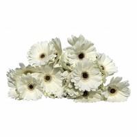 10 Mini Gerbera Husky (Weiß)