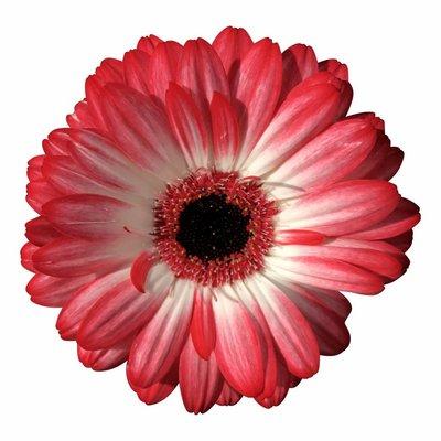 10 Mini Gerbera Macy (Rot-Weiß)