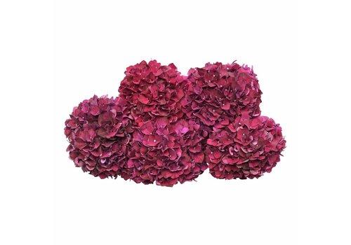 5 Hortensien Magic Ruby Red (Rot)