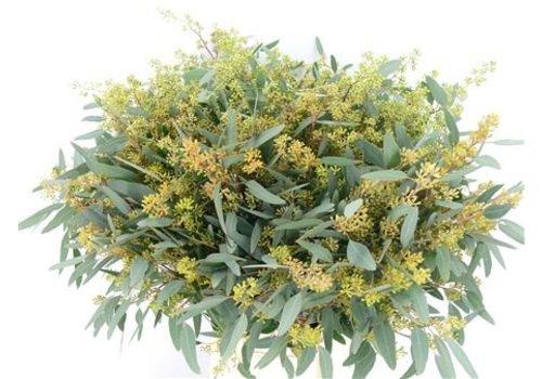 1 Bund Eucalyptus Populus mit Fruchtstand