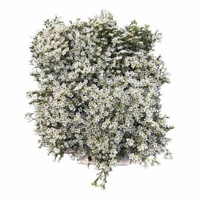 auch als schnittblume ist die urspr nglich aus asien stammende chrysantheme sehr beliebt. Black Bedroom Furniture Sets. Home Design Ideas