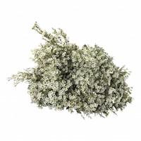10 Wachsflower Ofir (Weiß)