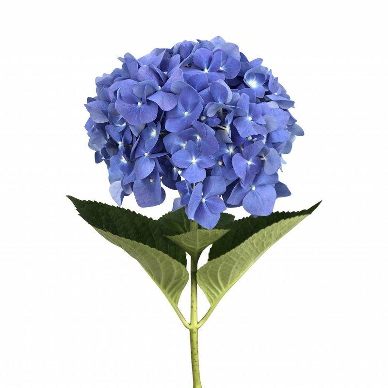 5 Hortensien Bela Blau
