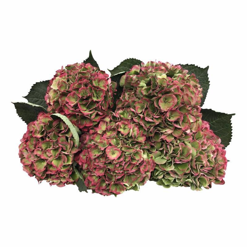 5 Hortensien Macrophylla Magic Opa lClassic (Grün-Rot)