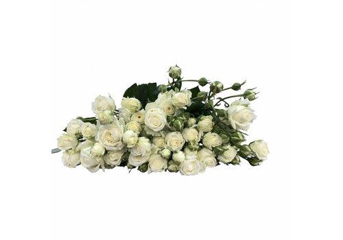 10 Tros-Rosen Weiß